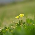 カタバミ 花言葉:輝く心
