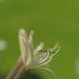 吸蔓(スイカズラ) 花言葉:愛の絆